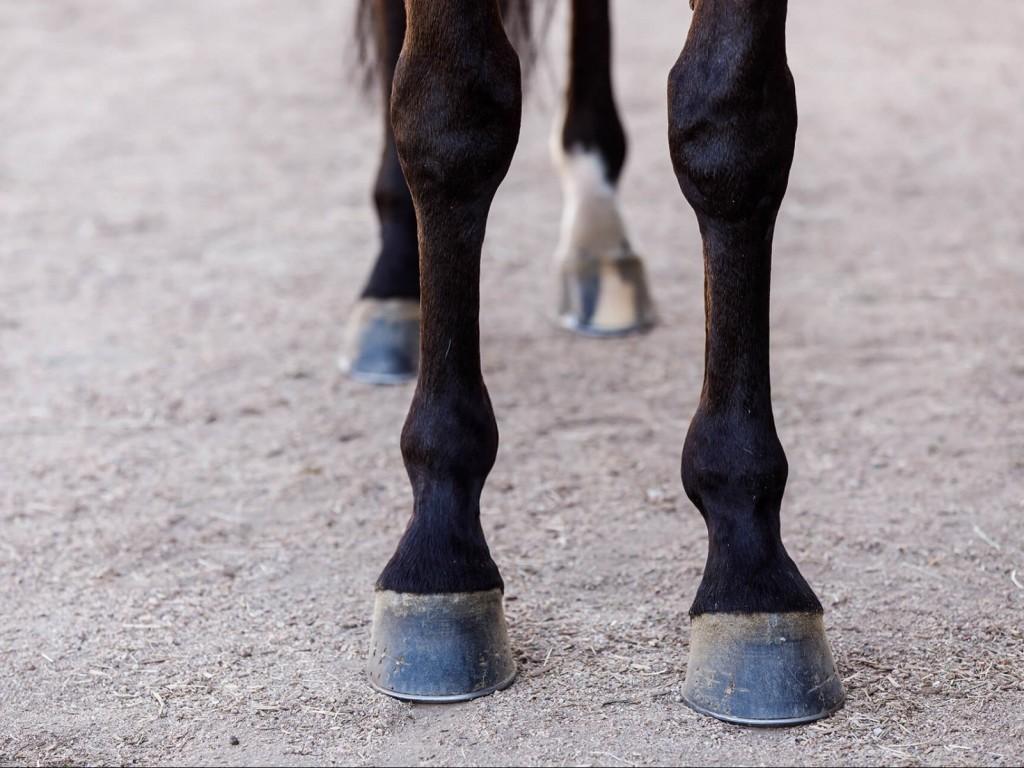 Saúde animal: palestra gratuita sobre síndrome navicular será ministrada no domingo
